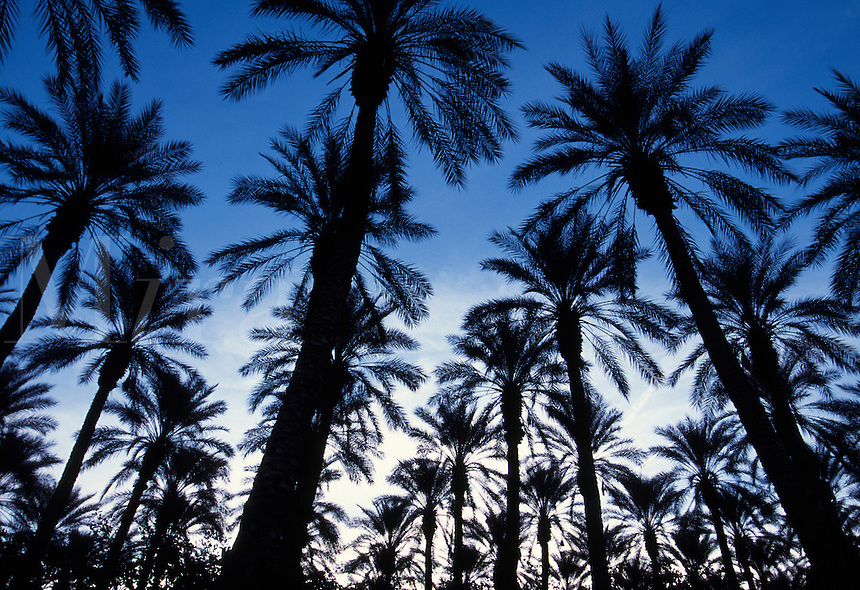 Palm trees against a blue sky at dusk, Palm Springs.