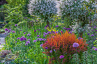 Mixed border with Allium 'Purple Sensation' and Berberis thunbergii Tangelo Barberry and variegated willow (Salix) shrubs in spring,, O'Byrne Garden