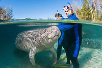 Florida Manatee, Trichechus manatus latirostris, A subspecies of the West Indian Manatee. A playful manatee interacts with snorkelers at the near the Three Sisters Sanctuary. Crystal River, Florida. No MR