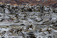 Chocolate Ribbons - A raft of seaweed, Macquarie Island