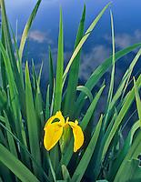 Yellow Flag iris (iris pseudacorus) growing pondside near Alpine, Oregon.