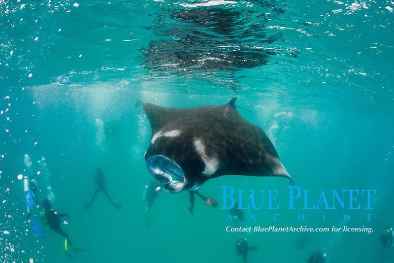 scuba divers surround a reef manta ray, Mobula alfredi, feeding on plankton, Hanifaru Bay, Baa Atoll, Maldives, Indian Ocean