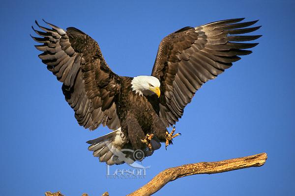 Bald Eagle (Haliaeetus leucocephalus) preparing to land on a limb.  Alaska.  March.