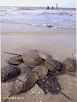 1Y47-111x  Horseshoe Crab - mating on beach at high spring tide -  Limulus polyphemus