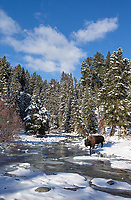A bison stops at Pebble Creek for a drink.