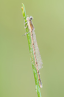 A dew-covered teneral female Citrine Forktail (Ischnura hastata) perches on a blade of grass in the early morning.