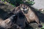 River Otter 3 shot playing near rivers edge
