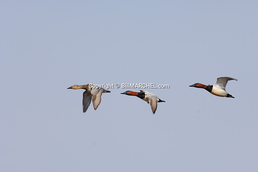 00290-005.04 Canvasback Duck (DIGITAL) Three birds in flight against a blue sky.  Action, fly, cans, hunt, waterfowl, diver.  H2L1