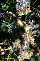 BV05-001b  Beaver - tree gnawed by beaver