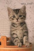 Carl, ANIMALS, photos, grey kitten(SWLA1765,#A#) Katzen, gatos