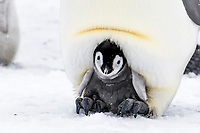 Snow Hill Island, Antarctica. Emperor penguin chick on parent's feet tucked warmly in brood pouch.