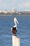 Australian Pelican, Pelacanus conspicillatus