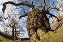 English Oak {Quercus robur}. Bradgate Park, Leicestershire, April.