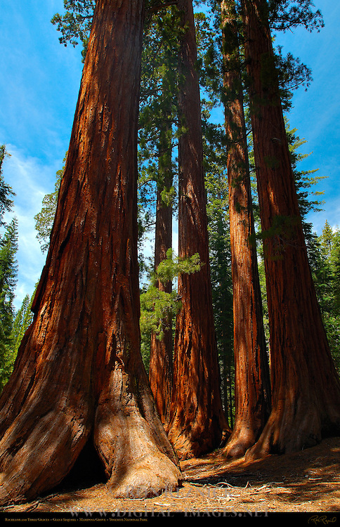 Bachelor and Three Graces, Giant Sequoia, Sequoiadendron giganteum, Mariposa Grove of Giant Sequoias, Yosemite National Park