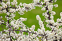Blackthorn {Prunus spinosa} in flower in hedgerow. Peak District National Park, Derbyshire, UK. April