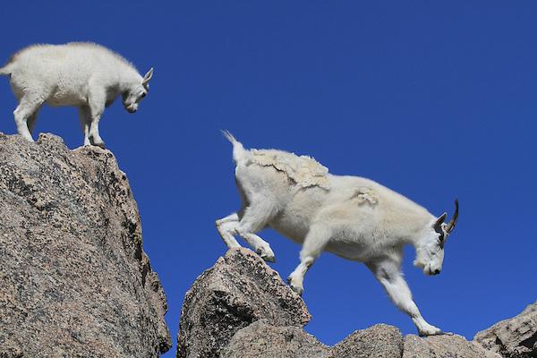 Mountain Goats on Mount Evans (14250 feet), west of Denver.  John leads private, wildlife photo tours throughout Colorado. Year-round.