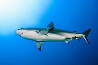 A female Caribbean Reef Shark, Carcharhinus perezii, with two remoras attached to it glides by in mid water on a site called Cara a Cara (Face to Face), Roatan, Bay Islands, Honduras, Central America, Caribbean Sea.
