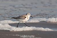 A Sanderling at the beach pn Galveston Island