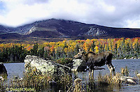 MS04-009x  Moose - cow (female) feeding at Sandy Stream Pond in Baxter State Park, Maine - Mt. Katahdin in view - Alces alces