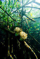 Soft coral growing on mangrove roots at Blue Water Mangrove, Raja Ampat, West Papua, Indonesia, Pacific Ocean