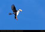 Puffin Landing, Horned Puffin, Duck Island, Puffin Island, Tuxedni Bay, Cook Inlet, Alaska