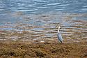 Grey Heron (Ardea cinerea) hunting amongst seawedd at low tide. Isle of Mull, Scotland, UK. June.