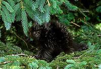 MA05-003z   Porcupine - young in tree - Erethizon dorsatum