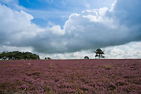 Common heather (Calluna vulgaris) with wall and sky and pine tree, near Ribchester, Lancashire