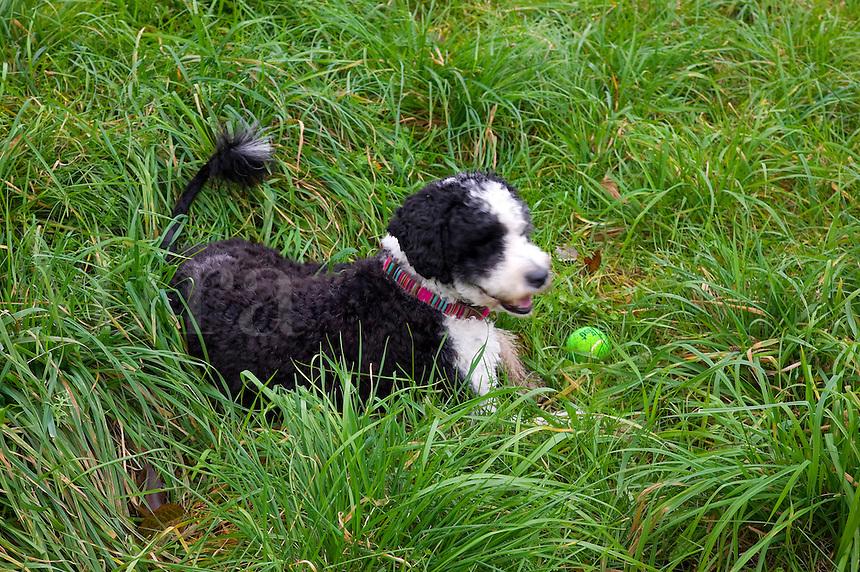 Dog fetching a ball.<br />