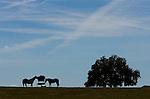 Horses in a field on Highway 41 west of Ocala, Florida.    (Mark Wallheiser/TallahasseeStock.com)