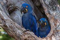 Hyacinth Macaws, (Anodorhynchus<br /> hyacinthinus ) at nest site in Matogrossense National Park National Park, Pantanal, wetlands Brazil.