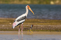 Painted Stork on the banks of the Chambal River in Uttar Pradesh, India