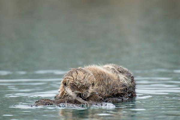 Sea Otters (Enhydra lutris)--pup is nursing.