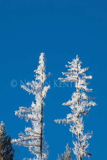 Frost covered trees and branches during a Montana winter