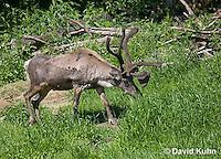 1221-1005  Male Woodland Caribou (Forest Caribou or Reindeer) Eating Grass, Shedding Winter Coat, Rangifer tarandus  © David Kuhn/Dwight Kuhn Photography