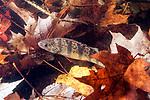 Yellow Perch hiding in fallen leaves