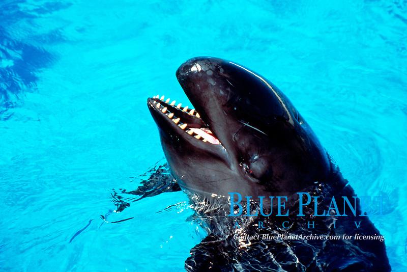 false killer whale, Pseudorca crassidens, Hawaii (c)