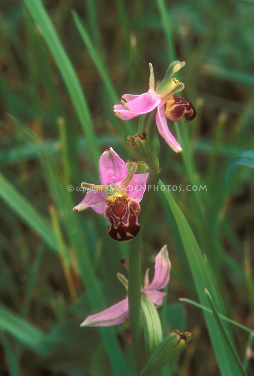 Ophrys apifera Bee Orchid, Burren Orchid, GR3977 native Ireland wildflower that resembles mimics a bee to fool pollinators, but this species is actually self-pollinating, which confounded Charles Darwin