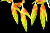 Close-up of red-and-yellow bracts of Heliconia platystachys against a black background