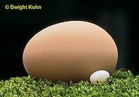 HU03-003b  Ruby-throated Hummingbird - comparing tiny hummingbird egg to chicken egg -  Archilochus colubris