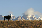 Bison with snowy mountains