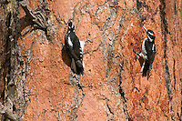 Male and female Hairy Woodpeckers (Picoides villosus) on side of ponderosa pine tree.  Western U.S.