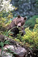 609680008 a wild brown bear ursus arctos feeds on wild berries near the town of hyder in southeast alaska