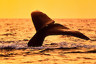 humpback whale, Megaptera novaeangliae, fluke-up dive, under golden light from setting sun, Hawaii, USA, Pacific Ocean