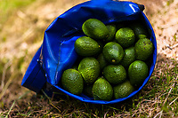 A bag of avocados is seen laid on the ground during a harvest at a plantation near Sonsón, Antioquia department, Colombia, 21 November 2019. Over the past decade, the Colombian avocado industry has experienced massive growth, both as a result of general economic development in Colombia, and the increased global demand for so-called superfood products. The geographical and climate conditions in Antioquia (high altitude, no seasonal extremes, high precipitation rate) allow two harvest windows of the Hass avocado variety across the year. Although the majority of the Colombian avocado exports are destined towards Europe now, Colombia aspires to become one of the major avocado suppliers to the U.S. market in the near future.