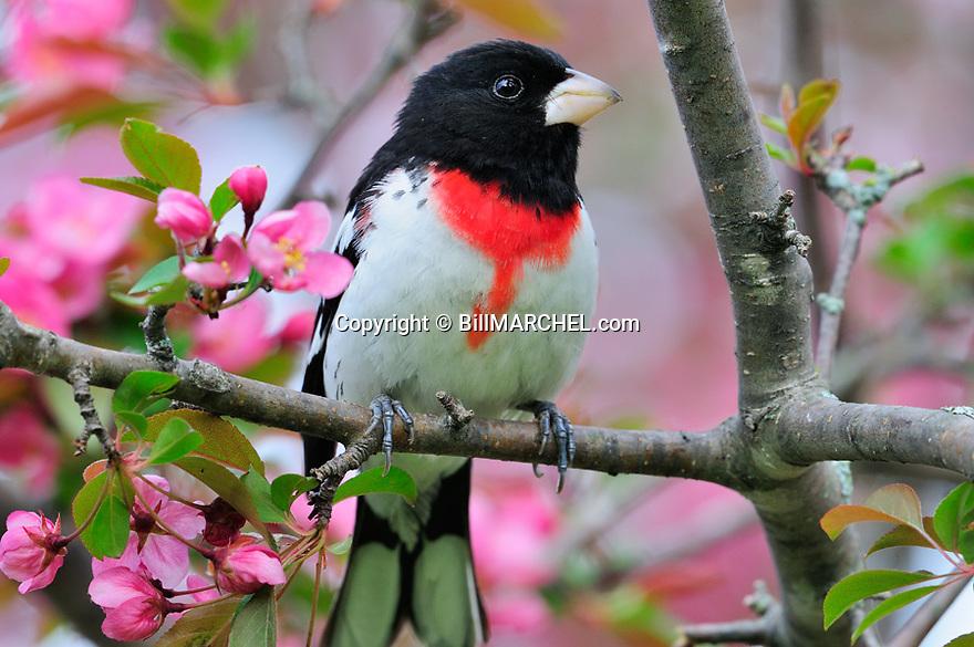 00546-014.20 Rose-breasted Grosbeak male is perched in red splendor crab apple in bloom.  Songbird, birding, landscape.