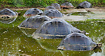 Galapagos tortoise, Galapagos, Ecuador
