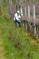 A vineyard worker winter pruning the vines. The vines close to the camera have been cut Bodega Pisano Winery, Progreso, Uruguay, South America