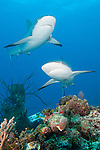 Gardens of the Queen, Cuba; a pair of Caribbean Reef Sharks swimming over the colorful coral reef