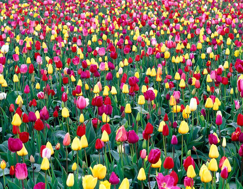 V00210M.tif   Mixed tulips. Wooden Shoe Bulb Company, Oregon